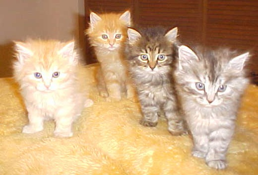 Siberians in a rainbow of colors